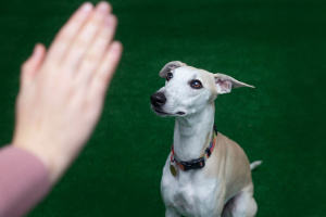 Podstawy posłuszeństwa to szkolenie grupowe skierowane do opiekunów dorosłych oraz dorastających psów od 4 miesiąca życia.