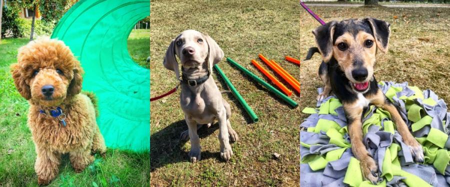Psie przedszkole obejmuje między innymi budowanie relacji między właścicielem a psem, odpowiednią zabawę z psem, właściwą socjalizację szczeniaka.