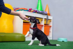 Psie przedszkole to szkolenia grupowe dla szczeniąt pomiędzy 2 a 5 miesiącem życia.