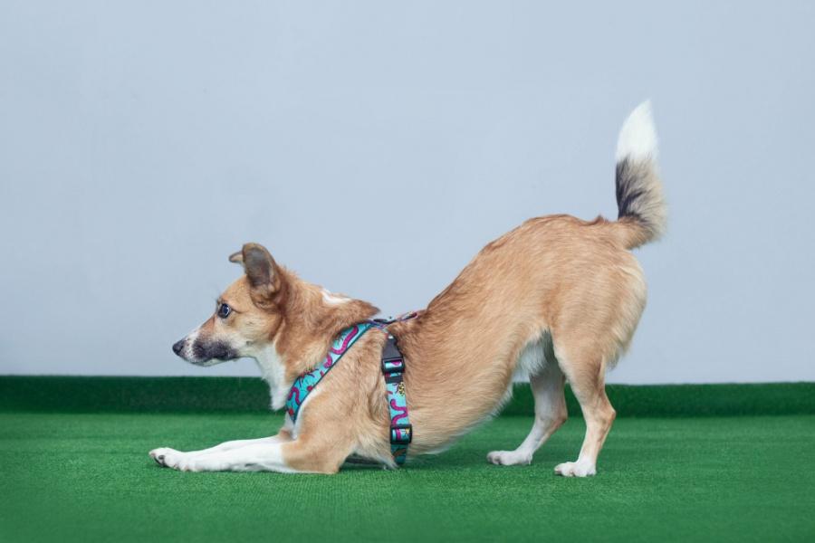 Ukłon, czyli pozycja w której pies ugina przednie łapy, łokciami dotykając do podłoża, a jego tył, pozostaje w górze. Wygląda to tak, jakby pies się nam kłaniał.