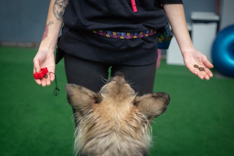 Na początku, żeby móc szkolić psa z pomocą klikera, musimy skojarzyć naszemu psiakowi jego dźwięk z czymś przyjemnym - z nagrodą.