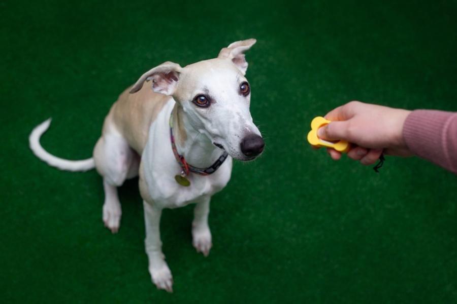 Dźwięk klikera zaczyna zapowiadać psu pojawienie się nagrody, dzięki temu, możemy precyzyjnie zaznaczać i wzmocnić wybrane przez nas zachowania.