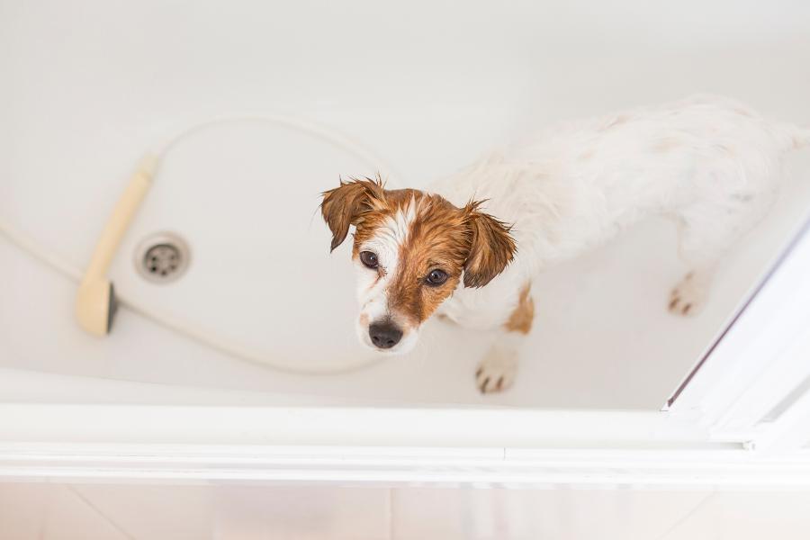 Szykując się na przyjęcie pod swój dach szczeniaka, warto pamiętać także o zaopatrzeniu się w niezbędne środki do pielęgnacji, takie jak szampon.