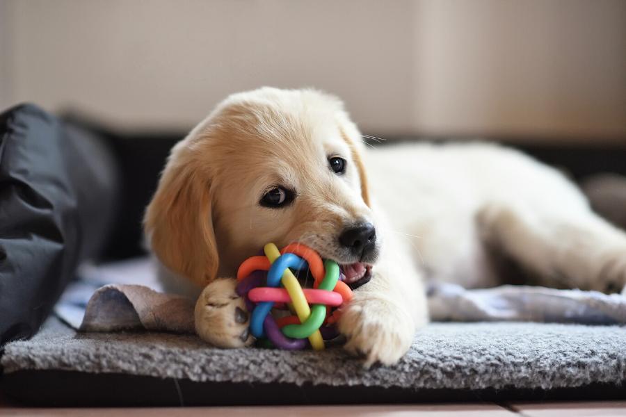 Zabawki do gryzienia zaspokoją potrzebę gryzienia u naszego szczeniaka, pomogą mu uporać się z wymianą zębów oraz przydadzą się w czasie treningu samotności.