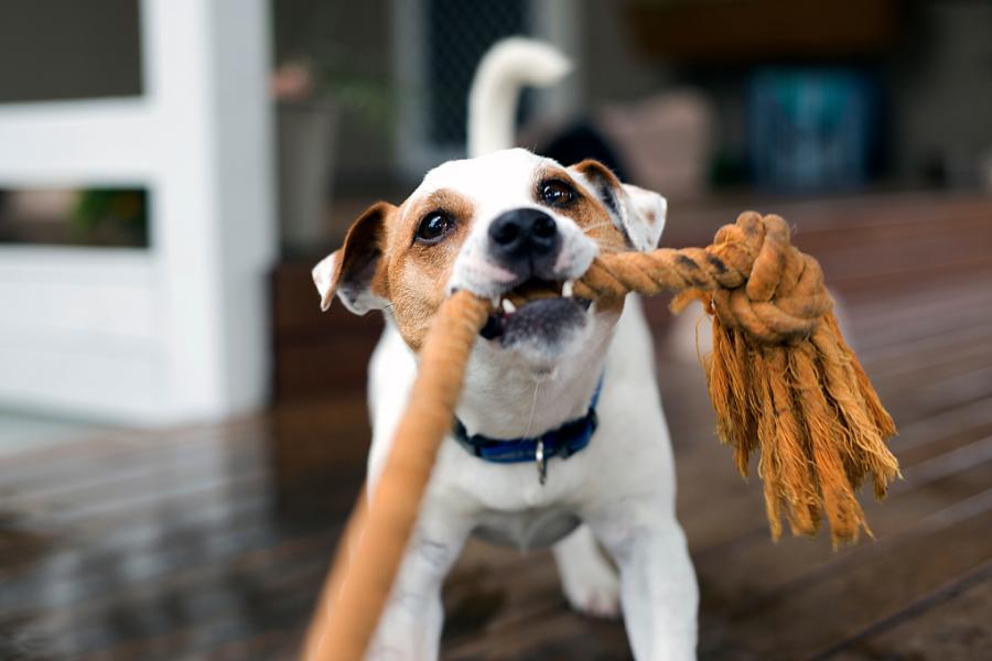 Do zabawy z psem dobrze sprawdzą się wszystkie długie szarpaki, które zminimalizują ryzyko gryzienia nas po rękach.