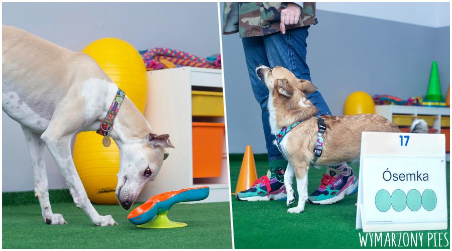 Praca umysłowa rozwija umiejętności poznawcze naszego psa, zapewnia mu zdrowe i dobre zmęczenie mentalne oraz realizuje jego potrzebę współpracy z człowiekiem, którą nosi w genach od pokoleń.