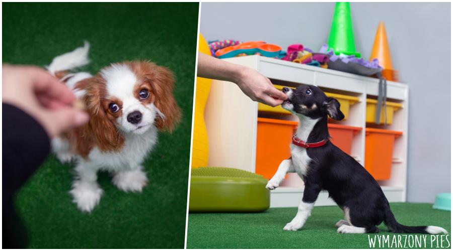 Podczas spotkań w szkole psiak przede wszystkim zdobywa podstawowe umiejętności przydatne w życiu codziennym, ale także uczy się pracować w obecności innych psów oraz ma okazje znaleźć się w różnych sytuacjach, takich jak zabiegi pielęgnacyjne, chodzenie po nowych powierzchniach, kontakt z obcymi osobami i oswajanie z dźwiękami.