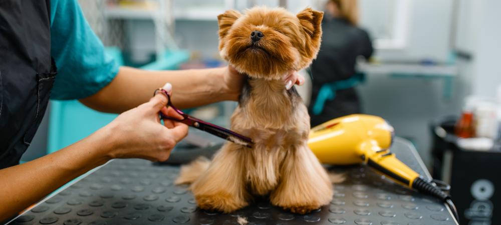 Jeśli pierwsza wizyta u groomera jest jeszcze przed nami, mamy świetną szansę na zbudowanie właściwego nastawienia naszego psa do zabiegów pielęgnacyjnych. Powinna ona odbyć się bez stresujących i długich zabiegów.