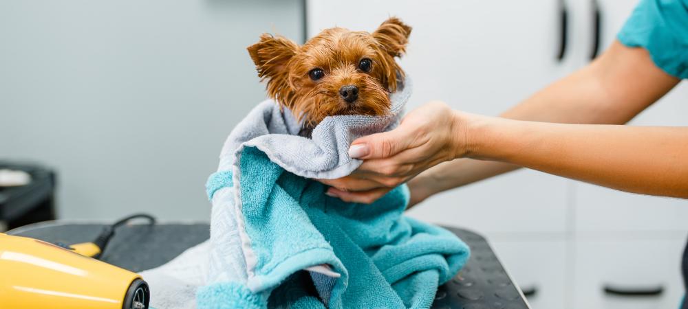 Jeśli jednak na wstępie udało się nam dobrze poznać groomera, jego podejście do psich klientów oraz techniki pracy, a nasz pies jest oswojony z miejscem oraz zabiegami pielęgnacyjnymi, nie powinniśmy się niczym martwić i spokojnie zostawić psiaka pod jego opieką.