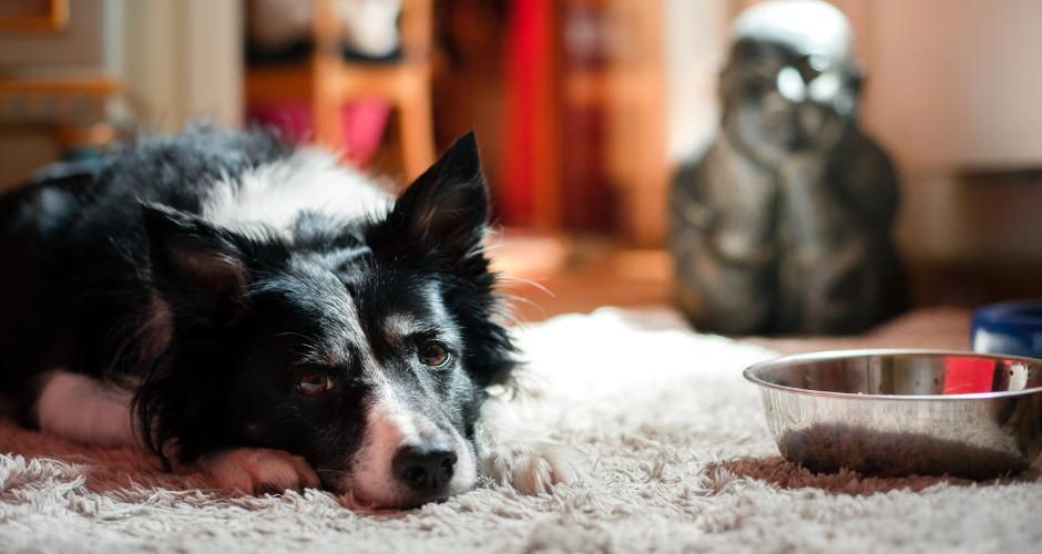 Świetnym sposobem na poprawienie apetytu jest tak zwane aktywne karmienie. Jeśli nasz pies nie chce jeść, może zacząć karmić go z maty węchowej, licki maty, zabawek na jedzenie typu kong lub chociażby rozrzucając karmę na podłodze. W ten sposób zwiększamy atrakcyjność jedzenia w oczach naszego psiaka.
