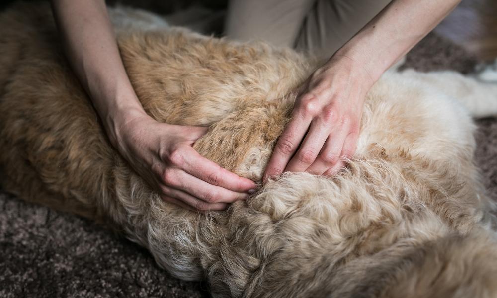 Innym powodem zgłoszenia się do fizjoterapeuty jest chęć zapobiegania powstawaniu problemów. Coraz więcej opiekunów psów sportowych, wystawowych, ale także rodzinnych korzysta z pomocy psiego fizjoterapeuty, nie tylko podczas rehabilitacji po przebytych urazach i kontuzjach, ale także aby zapobiec im w przyszłości. | Fizjoterapia psów | Masaż psów
